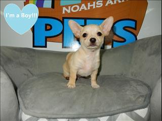 Chug puppies (Chihuahua x Pug) !!!!