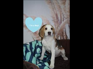 ONE LEFT ! Beagle x Puppy!