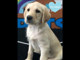 WEEKEND SPECIAL- Golden Standard Labradoodle ( Standard Poodle x Labrador ) Puppies