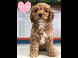 Shihtzu, Cavoodle,  Dachshund, Jack Russell, Cavalier