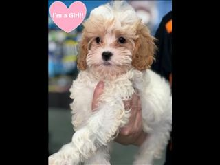 OPEN ALL EASTER!!!! Red and White (Blenheim)  Toy Cavoodle Puppies (Toy Poodle x Cavalier King Charles Spaniel)!