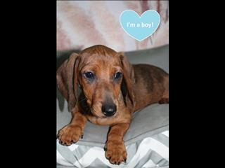WEEKEND SPECIAL! Miniature Dachshund Puppy!