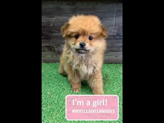 NEW! Pomeranian puppies!