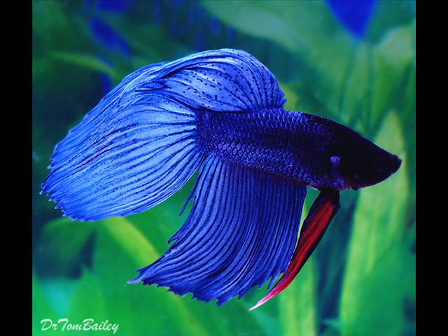 Siamese Fighting Fish | Fish Siamese Fighting Fish Setups Call Now For Sale In Sydney