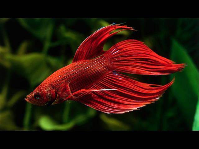 Siamese Fighting Fish & Setups - Call now