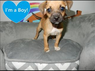 WEEKEND SPECIAL!!! Pug x Chihuahua Puppies! Chocolate & Fawn Available!