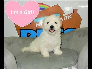 Maltese x Shih Tzu Puppies!