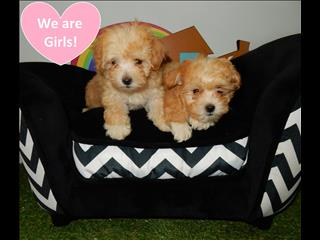Apricot Toy Moodle Puppies (Maltese x Toy Poodle)