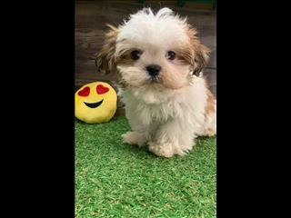 Shihtzu Puppies - Beautiful Colours ready to go