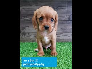 Ruby Beagle x Cavalier (Beaglier) pups