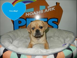Pugalier x Puppies! - Call 9831 3322