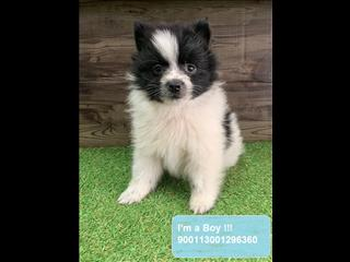 REDUCED!!! Pomeranian Puppies! *Payment options available!*