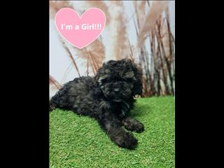 OPEN ALL EASTER!!!! Cavoodle (Cavalier x Poodle) puppies