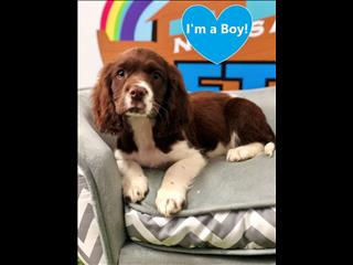 Male Springer Spaniel X Poodle Puppies- call us on 9831 3322