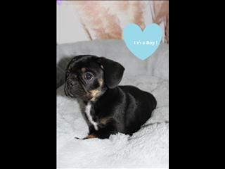 Black and Tan Frug (French Bulldog x Pug) puppies - CALL NOW!!!