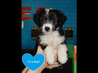 Maltese x Mini Fox Terrier pups - 98313322