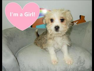 WEEKEND SPECIAL- Maltese x Chihuahua (MaltChi) Puppy!