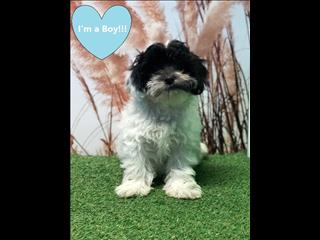 OPEN ALL EASTER!!!! Gorgeous Shoodle/Shi Poo (Shih Tzu x Toy Poodle) puppies!