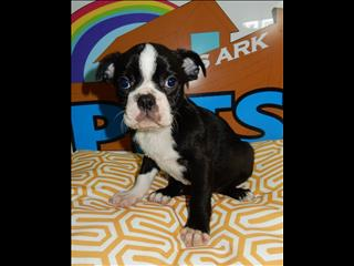 3/4 Boston Terrier 1/4 French Bulldog Puppies!