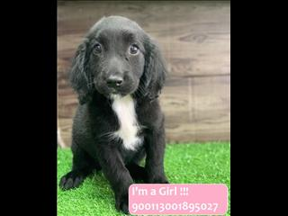 Beautiful Female Springador (Springer Spaniel x Labrador) Puppy!!