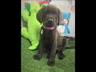 Chocolate Labrador x Springer Spaniel (Springador) puppies!