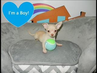 WEEKEND SPECIAL!!! Tiny Tot Chihuahua pups