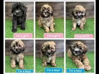 NEW! Shoodle/Shih-poo (Shihtzu x Toy Poodl) Puppies!!
