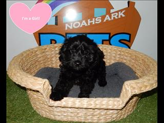 Toy Cavoodle (Cavalier x Toy Poodle) Puppies-  9831 3322
