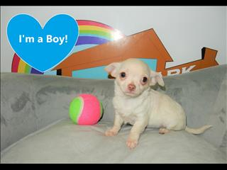 WEEKEND SPECIAL- Tiny Tot Chihuahua Puppies!