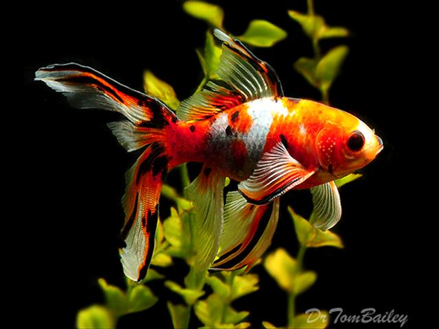 Gold Fish - Call Now