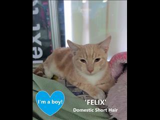 FELIX! Rescue Kitten DESEXED