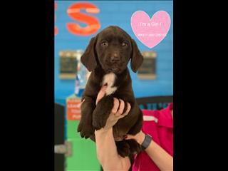 Labrador x Springer Spaniel (Springador) puppies!