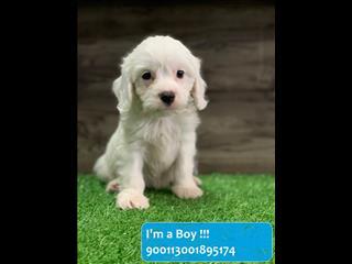 White Cavoodle (Cavalier x Poodle) Puppies!