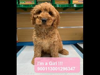 LAST ONE! Beautiful Female Red Cavoodle - Call now