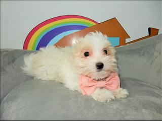 Toy Moodle (Maltese x Toy Poodle) Puppies!