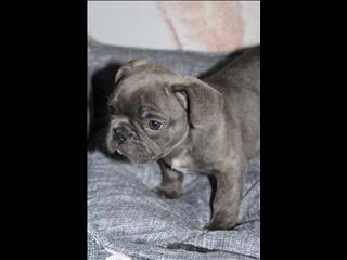 BLUE French Bulldog Puppy *payment options available*
