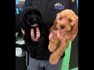 Spoodle Puppies (Cocker Spaniel x Poodle)