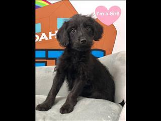Female Mini Labradoodle  (Labrador x Mini Poodle) puppies - call now 9831 3322