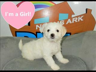 Maltese Terrier x Puppies