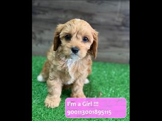 Red Cavoodle (Cavalier x Poodle) Puppies!