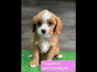 Red Cavoodle (Cavalier x Poodle) Puppies!