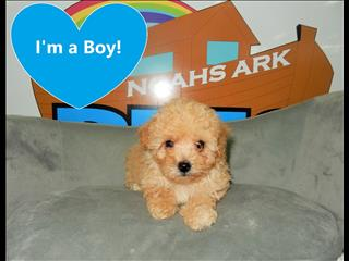 Toy Moodle Puppies (Toy Poodle x Maltese)