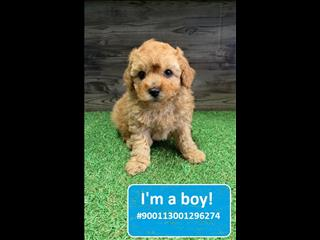 NEW! Cavoodle Puppies!!