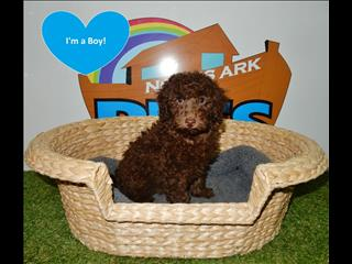 Miniature Poodle Puppies ! - 9831 3322
