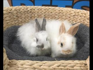 Angora cross bunny rabbits - 9831 3322