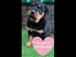Rottweiler puppies - Beautiful chunky males and females