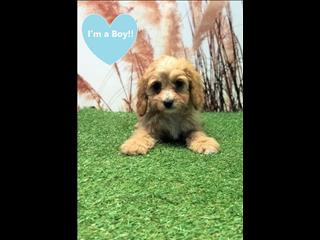 OPEN ALL EASTER!!!! Red Toy Cavoodle Puppies (Toy Poodle x Cavalier King Charles Spaniel)!