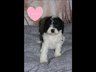 NEW! Black and White Cavoodle Puppies!
