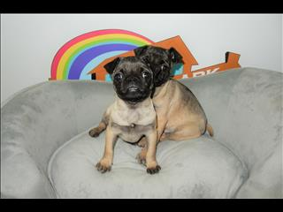WEEKEND SPECIAL- Female Pug puppies - Call now