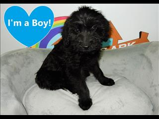 WEEKEND SPECIAL- Miniature Labradoodle ( Labrador x Miniature Poodle) Puppies